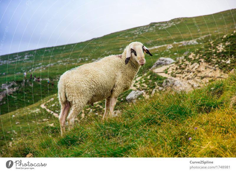 The lonely sheep Natur Landschaft Urelemente Himmel Sommer Wiese Feld Hügel Felsen Tier Nutztier Schaf 1 Blick stehen Südtirol Wolle Schafsbock Schafswolle Fell
