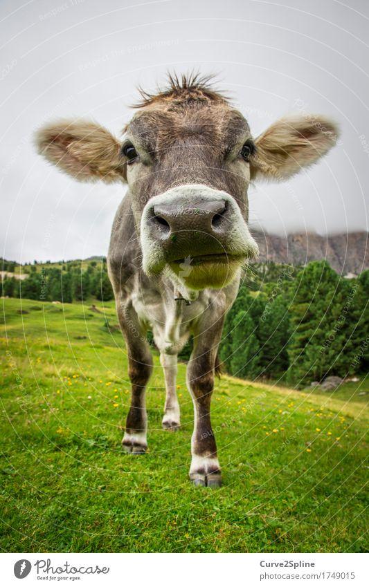Muh Kuh Natur Wolken Sommer Nebel Wiese Feld Wald Hügel Felsen Alpen Berge u. Gebirge Tier Nutztier 1 stehen muhen Südtirol Schnauze grau grün Fell Farbfoto
