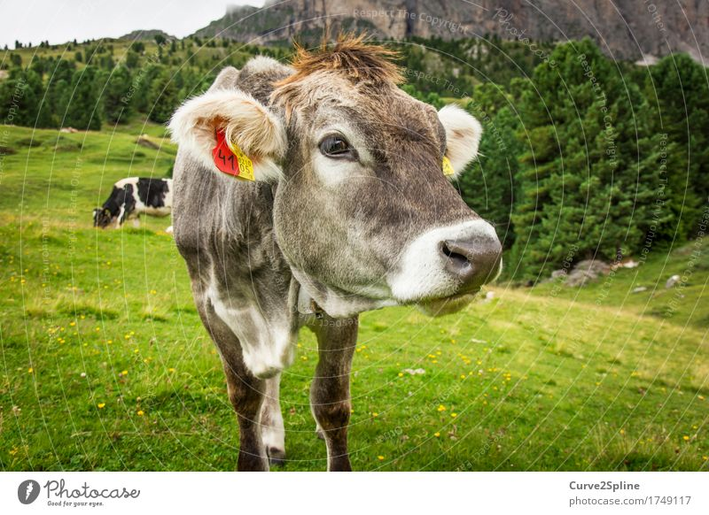 Muh Kuh Natur Sommer grün Tier Wald Berge u. Gebirge Wiese grau Felsen Feld stehen Hügel Fressen Schnauze Alm