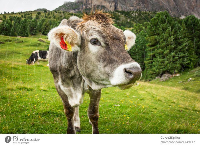 Muh Kuh Natur Sommer Wiese Feld Wald Hügel Felsen Berge u. Gebirge Tier Nutztier 2 Fressen Blick stehen Südtirol Alm Bergwiese Almwirtschaft grün grau Schnauze