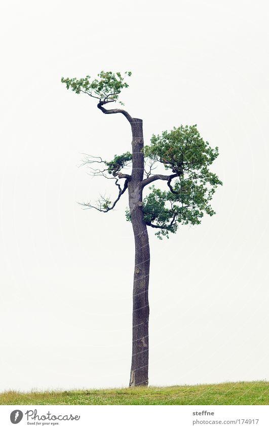 bonsai XXL Farbfoto Außenaufnahme Textfreiraum links Textfreiraum rechts Textfreiraum oben Freisteller Hintergrund neutral Tag Landschaft Baum ästhetisch