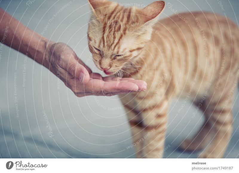 ... aus der Hand fressen Stil Mensch Frau Erwachsene Arme Finger 1 30-45 Jahre Haustier Katze Tiergesicht Fell Pfote Tierjunges füttern Nähe Fressen genießen