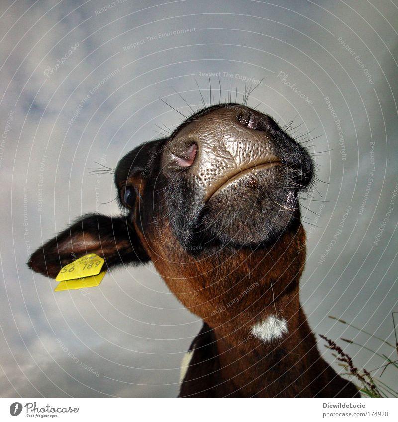 Ich bin so kuhl Kuh Kalb Milchwirtschaft Milchquote Landwirtschaft Viehhaltung Nutztier Fell Nase Mund Schnauze schwarz Froschperspektive Blick Blick nach oben