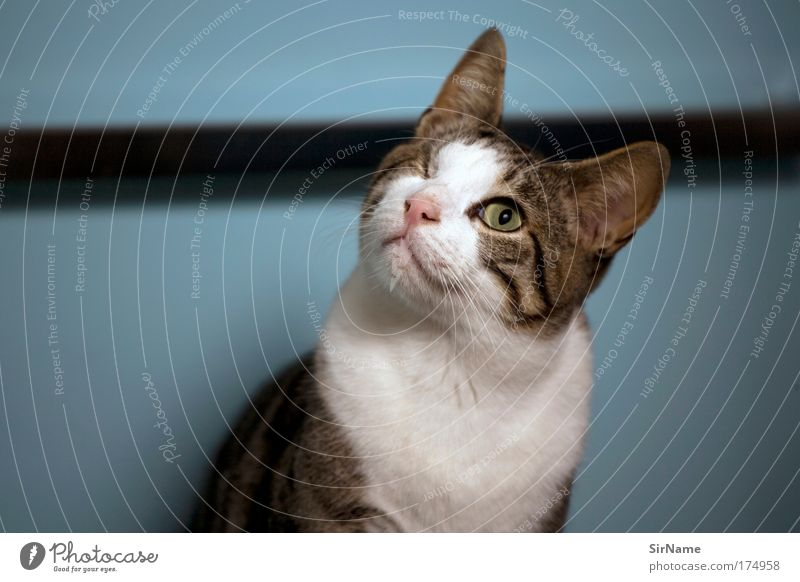 112 [Katze Hook] Katze blau weiß Tier ruhig Wand lustig Mauer braun elegant Kommunizieren ästhetisch beobachten Neugier Fell rein