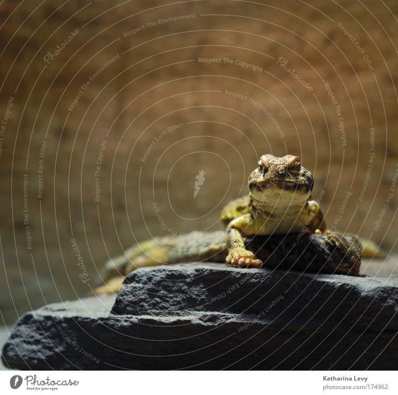 contact Tier gelb Erholung grau braun Zusammensein Kommunizieren authentisch Tiergesicht bedrohlich liegen beobachten natürlich Neugier Konzentration Wildtier