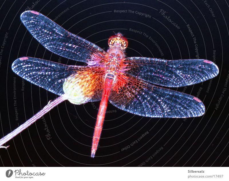 Libelle Insekt Libelle