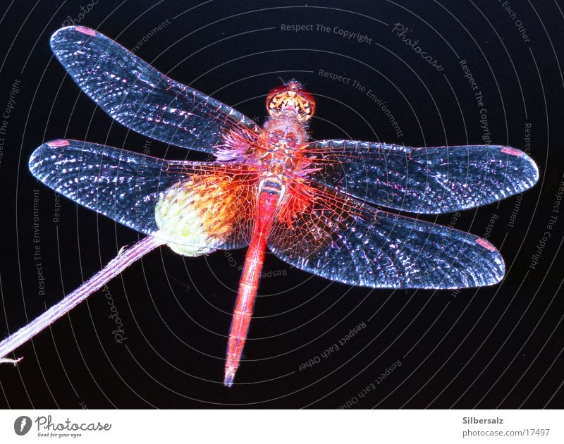 Libelle Insekt Makroaufnahme