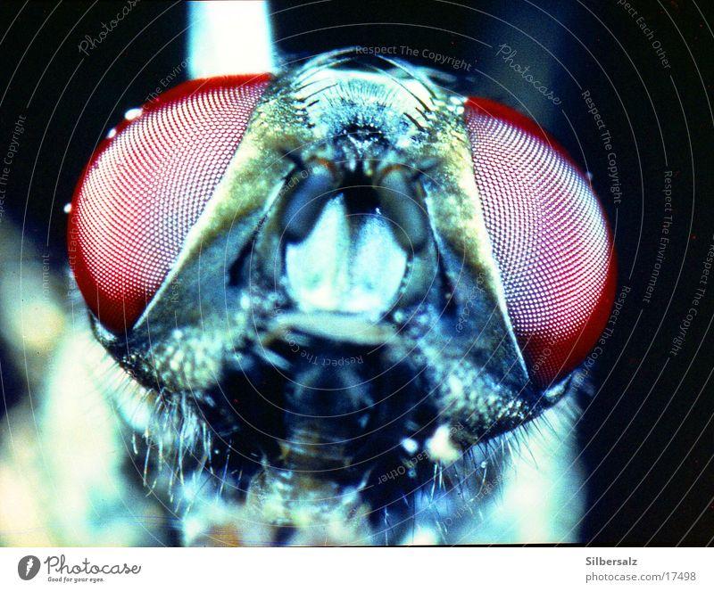 Fliegenportrait Insekt Fliegenauge Insektenaugen fliegen