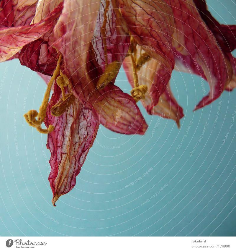 vertrocknete Schönheit Blume Blüte Pollen Staubfäden Stempel Ritterstern Amaryllisgewächse verblüht dehydrieren Wachstum Duft schön trocken blau gelb rosa