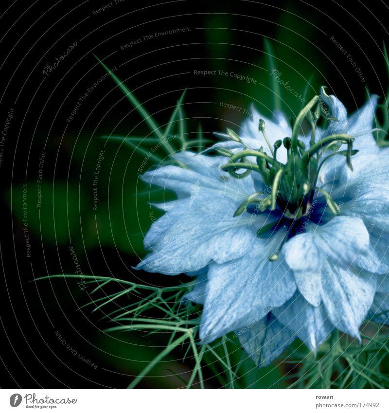 blau Natur schön Blume grün blau Pflanze dunkel Blüte Umwelt Romantik Spitze zart außergewöhnlich Blühend exotisch stachelig