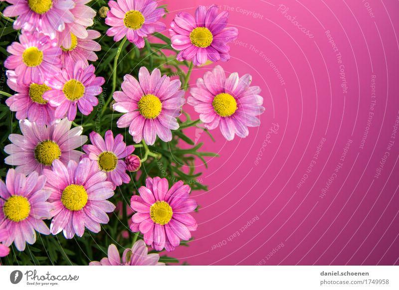 pink Pflanze Blume Duft Fröhlichkeit frisch rosa Farbe mehrfarbig Menschenleer Textfreiraum rechts