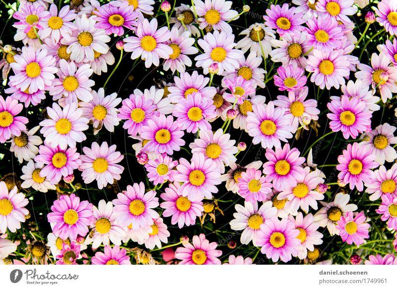 ganz viel rosa Pflanze Blume Blüte Fröhlichkeit frisch Duft Farbe mehrfarbig