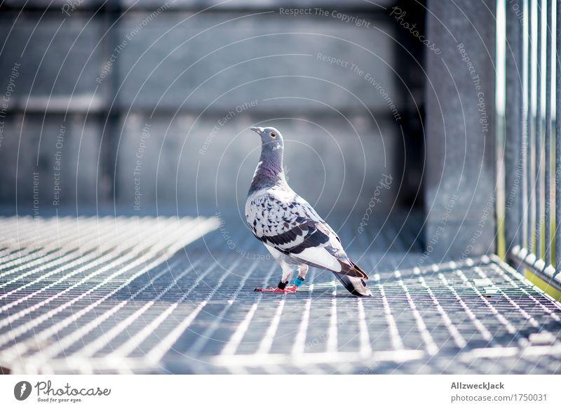 posh pigeon Tier Vogel Taube 1 Stadt grau Hochmut Stolz eitel Hoffnung stadtratte Farbfoto Außenaufnahme Menschenleer Tag Tierporträt Blick