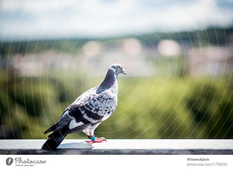 Observing my hood Tier Vogel Taube 1 beobachten genießen warten Brieftaube Farbfoto Außenaufnahme Nahaufnahme Menschenleer Tag Unschärfe Starke Tiefenschärfe