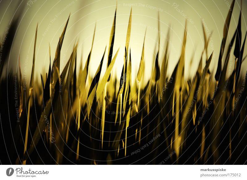 gras Farbfoto Außenaufnahme Menschenleer Ausflug Ferne Freiheit Sommer Sommerurlaub Sonne Umwelt Natur Landschaft Pflanze Klima Schönes Wetter Gras Grünpflanze