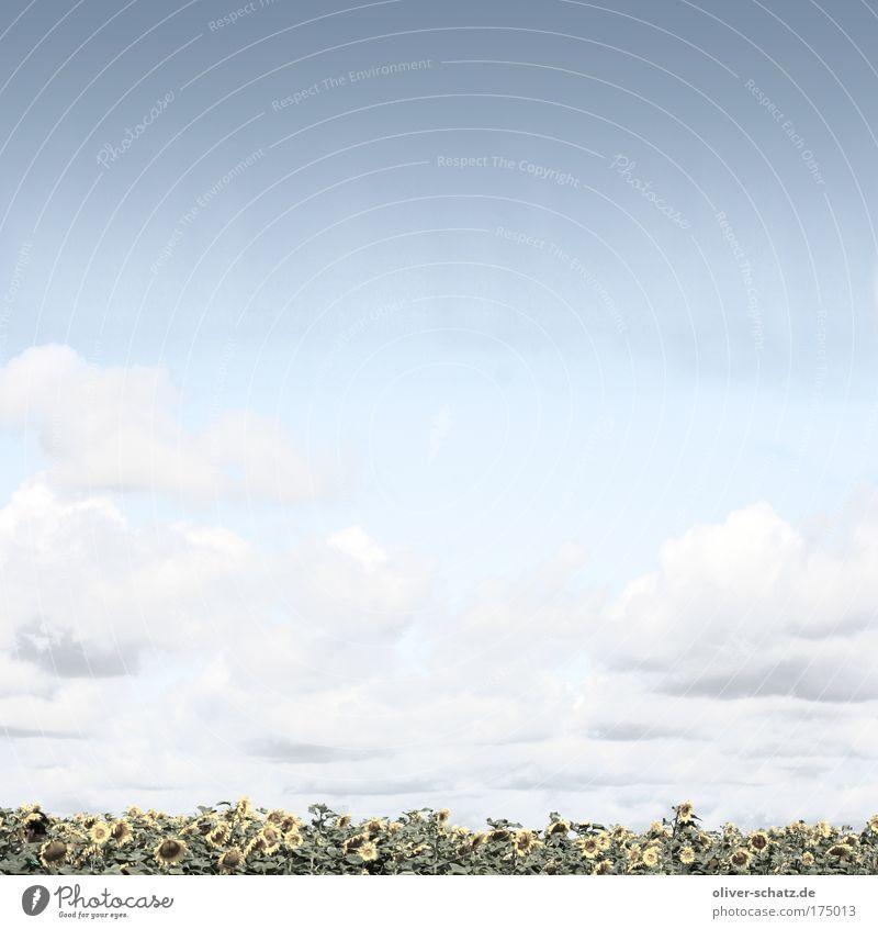 Wer suchet, der findet ! Mensch Himmel Natur blau Pflanze Sommer Wolken Einsamkeit Erwachsene Landschaft gelb Feld verstecken Sonnenblume Versteck Sonnenblumenfeld