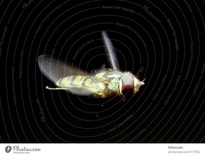 Schwebfliege im Flug Insekt fliegend Makroaufnahme Fluginsekt Luftverkehr im flug Flugaufnahme