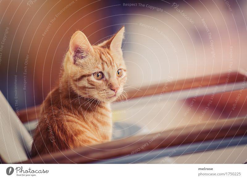 ACHTUNG ! elegant Stil Tier Haustier Katze Tiergesicht Fell Katzenohr Schnauze 1 Tierjunges Terrassenstuhl Stuhllehne Freistellung beobachten Erholung sitzen