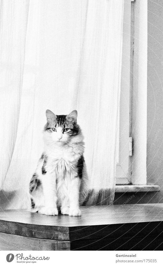 Cingöz schön ruhig Tier Fenster Katze Kraft elegant sitzen Tisch ästhetisch Tiergesicht Fell Vorhang Pfote Haustier langhaarig