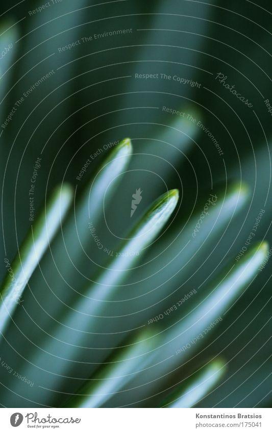 beautific fir needle Natur blau Pflanze grün schwarz außergewöhnlich Design ästhetisch fantastisch Spitze dünn Tanne silber stachelig Nadelbaum Tannennadel