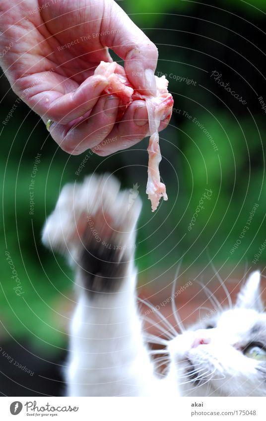 Fleisch! Mensch Hand Ernährung Tier Bewegung Katze fangen lecker Jagd Appetit & Hunger genießen Ring Fressen Haustier Vorfreude