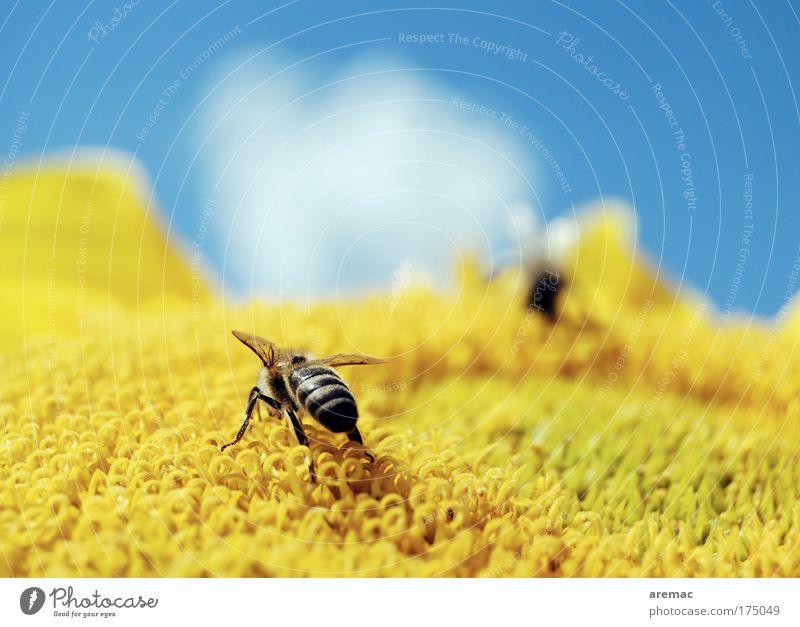 All you can eat Natur Himmel Blume blau Pflanze Wolken Ernährung Tier gelb Makroaufnahme Biene Sonnenblume fleißig