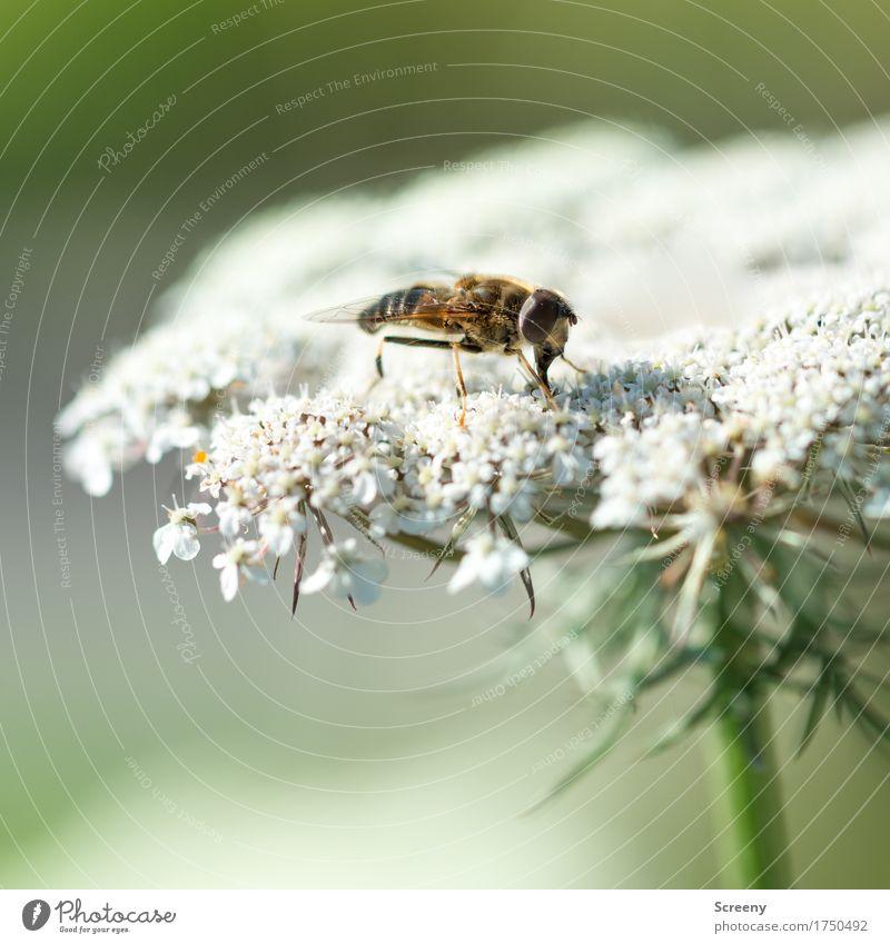 Landeplattform Natur Pflanze Sommer Blume Tier Wiese klein sitzen Sträucher Insekt Schwebfliege