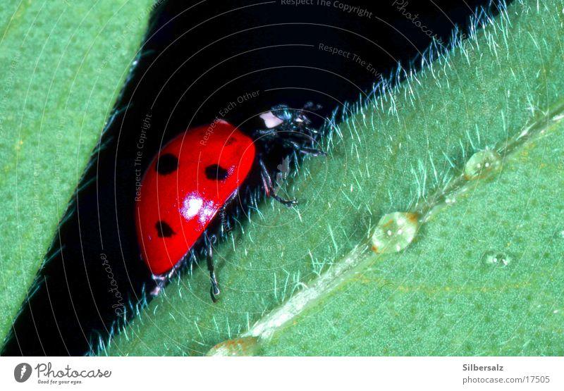 Marienkäfer auf kitzeligem Untergrund Makroaufnahme Insekt