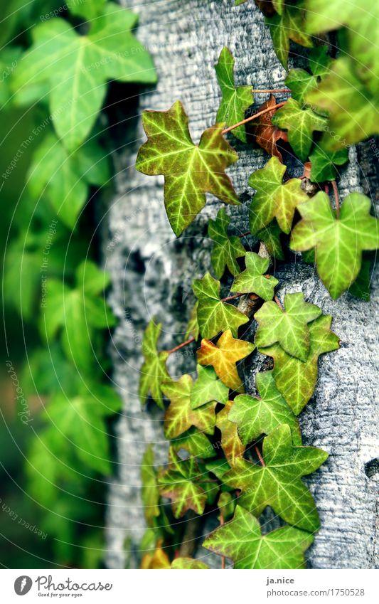Efeu. Natur Pflanze Baum Blatt Grünpflanze Wald festhalten natürlich grau grün Umwelt Farbfoto Außenaufnahme Menschenleer Tag Schwache Tiefenschärfe