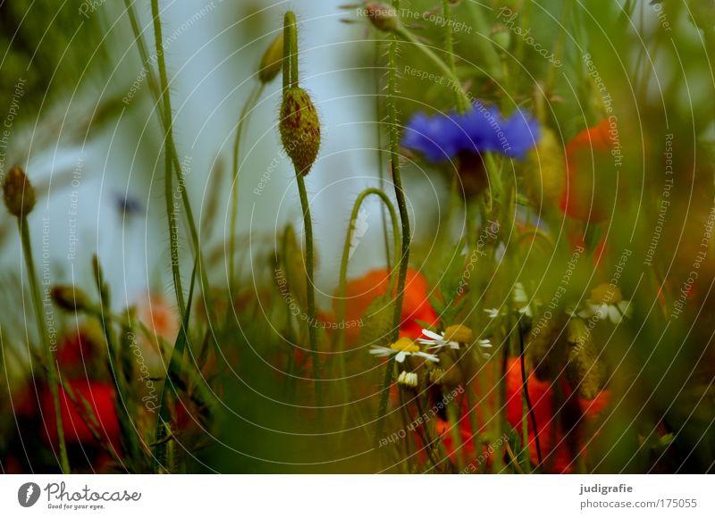 Wiese Farbfoto Außenaufnahme Tag Sommer Sommerurlaub Umwelt Natur Pflanze Blume Gras Wildpflanze Blühend Wachstum schön wild blau grün rot Duft Leben Kornblume