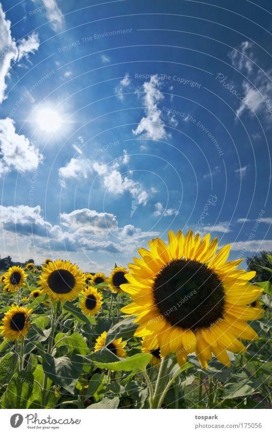 Sonnenblumen Farbfoto mehrfarbig Außenaufnahme Menschenleer Textfreiraum oben Tag Sonnenlicht Sonnenstrahlen Gegenlicht Zentralperspektive Weitwinkel harmonisch