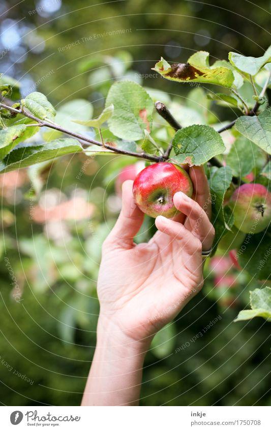 Apfelernte Ernährung Bioprodukte Hand 1 Mensch Sommer Herbst Schönes Wetter Nutzpflanze Apfelbaum frisch Gesundheit natürlich saftig grün rot Ernte pflücken
