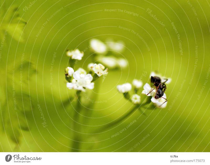 Pollenfresser Außenaufnahme Makroaufnahme Menschenleer Textfreiraum oben Schwache Tiefenschärfe Umwelt Natur Pflanze Tier Blüte Wildpflanze Kerbel Wildtier