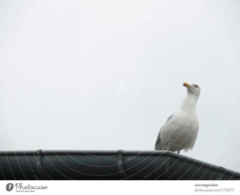 [KI 09.1] gegen den wind weiß Tier Küste Möwe schlechtes Wetter Dachrinne
