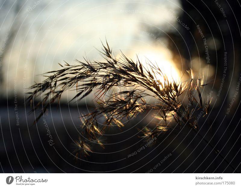 Im Gegenlicht Farbfoto Außenaufnahme Abend Kontrast Sonnenlicht Sonnenstrahlen Schwache Tiefenschärfe Natur Gras Sträucher Wärme braun gelb Tag