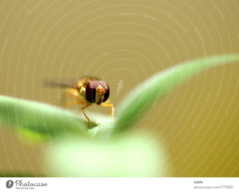 Zwischenstop Farbfoto Makroaufnahme Textfreiraum oben Blick in die Kamera elegant Erholung Natur Tier Pflanze Fliege Insekt Schwebefliege 1 beobachten fliegen