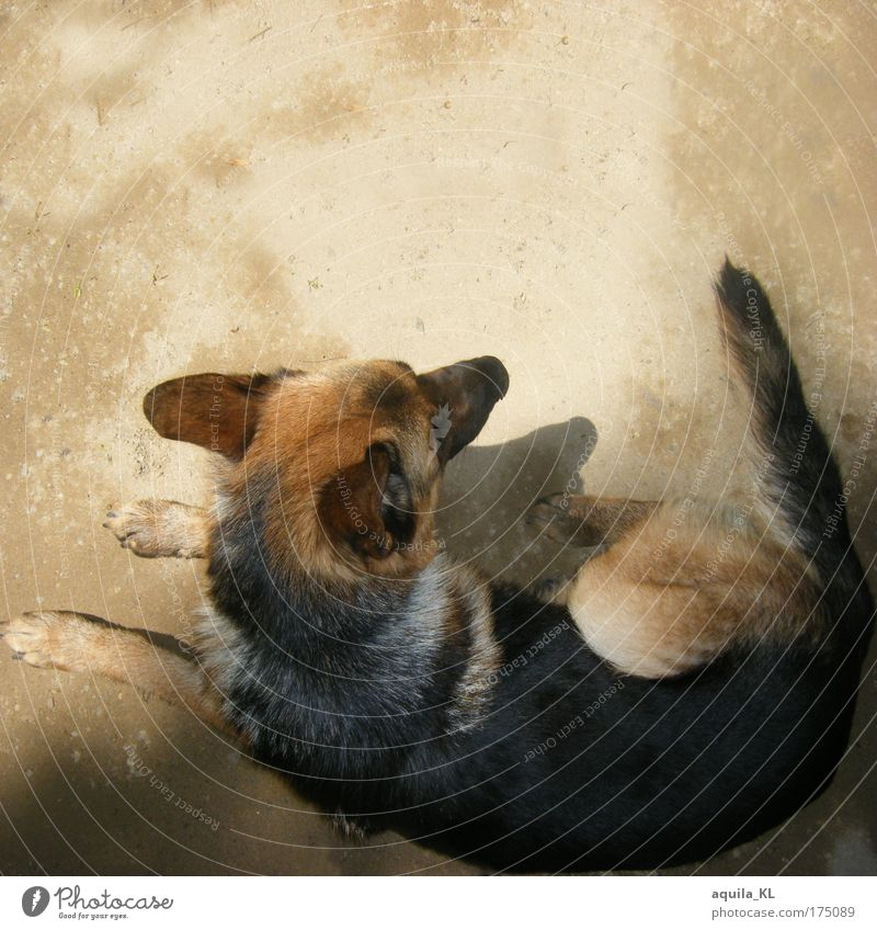 Schäferhündchen sucht Schäferstündchen Farbfoto Menschenleer Textfreiraum oben Schatten Vogelperspektive Tierporträt Haustier Hund 1 liegen Blick Schwanz Ohr