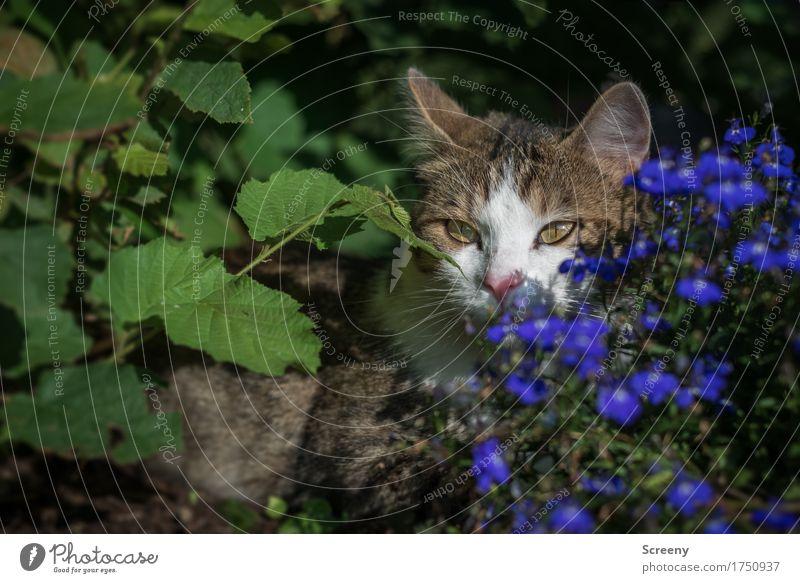Versteckspiel Katze Natur Pflanze Sommer Blume Tier ruhig Garten liegen Erde Sträucher beobachten Gelassenheit verstecken Haustier geduldig