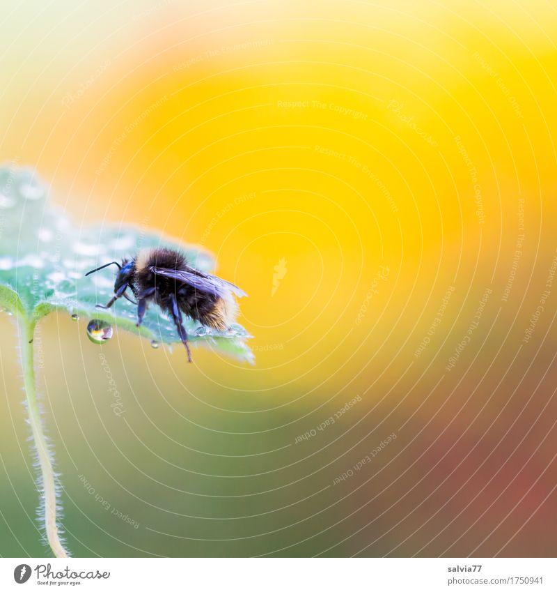früh morgens Natur Pflanze Sommer grün Blatt Tier Umwelt gelb natürlich oben frisch Wassertropfen Flügel Insekt Tau krabbeln