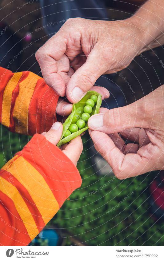frische bio erbsen ernte Kind Gesunde Ernährung Umwelt Essen Gesundheit Garten Lebensmittel Arbeit & Erwerbstätigkeit Freizeit & Hobby Neugier Gemüse Bildung