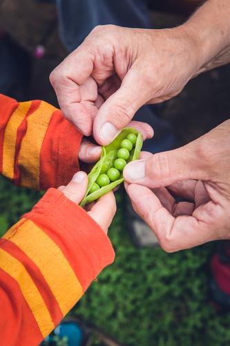 frische bio erbsen ernte Lebensmittel Gemüse Erbsen Erbsenschoten Ernährung Essen Picknick Bioprodukte Vegetarische Ernährung Diät Fasten Slowfood Fingerfood