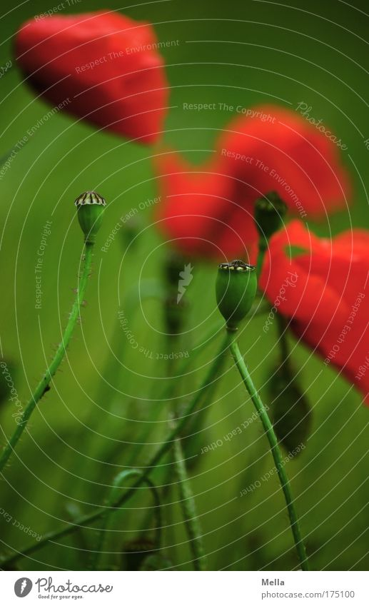Vergänglich Natur schön Blume grün Pflanze rot Sommer Wiese Blüte Frühling Traurigkeit Stimmung Feld Umwelt Wachstum Ende
