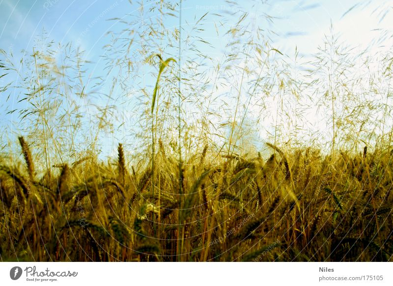 Heimatliches Kornfeld Himmel Natur Sommer Pflanze Landschaft Umwelt Herbst hell Feld Wetter gold Klima Lebensmittel Ernährung ästhetisch Schönes Wetter