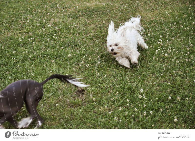 wauzi wettrennen Hund Pflanze Sommer Tier Wiese Spielen Haare & Frisuren Garten Frühling Freundschaft Kraft Tierpaar rennen Behaarung Erfolg Fröhlichkeit