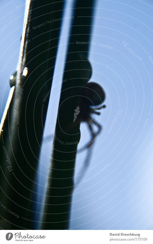 Das Grauen aus der Dunkelheit Natur blau Tier schwarz Beine Linie Wildtier gruselig Spinne Fühler Vor hellem Hintergrund