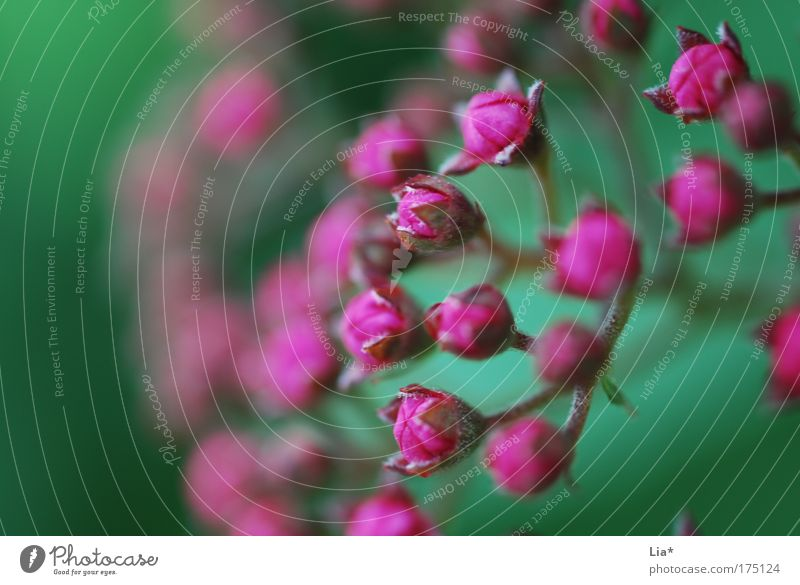 komplementär Baum grün Pflanze rot rosa violett Blühend magenta