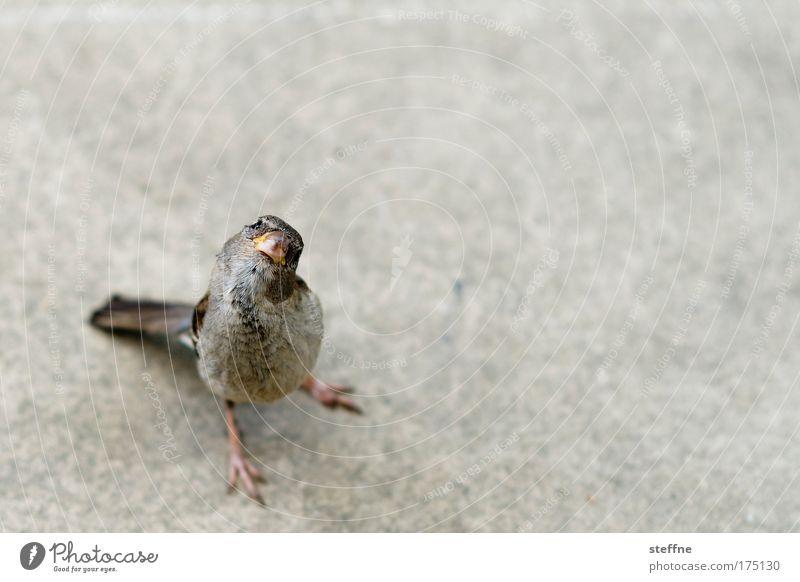 Dackelblick Ernährung Tier Vogel Wildtier niedlich Appetit & Hunger Fressen Schnabel frech Vogelperspektive füttern Spatz gefräßig betteln