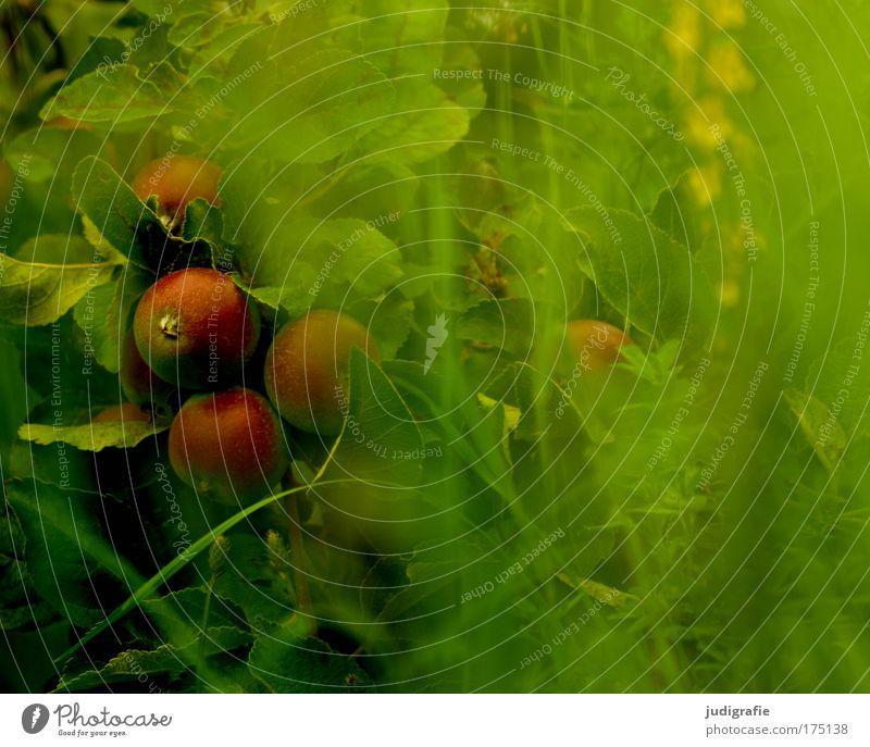 Im Garten Farbfoto Außenaufnahme Lebensmittel Frucht Apfel Natur Pflanze Baum Gras Wachstum Duft grün Romantik Idylle Apfelbaum Sommer Paradies