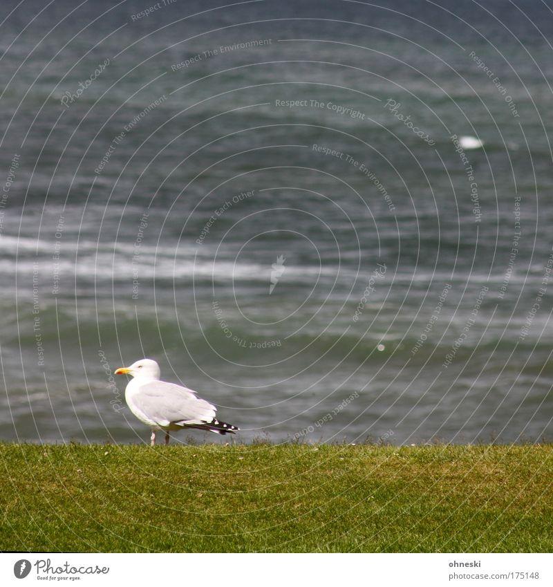 Möwe schottisch Wasser weiß Meer grün ruhig Einsamkeit Tier grau Vogel Wellen Küste Nordsee hocken Schottland