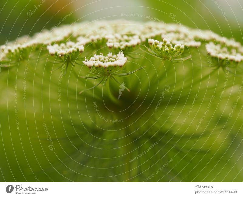 sommerblume Natur Pflanze Sommer schön grün weiß Blüte natürlich ästhetisch Fröhlichkeit Freundlichkeit positiv